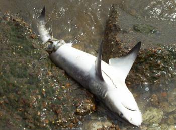 Alabama Dead Shark