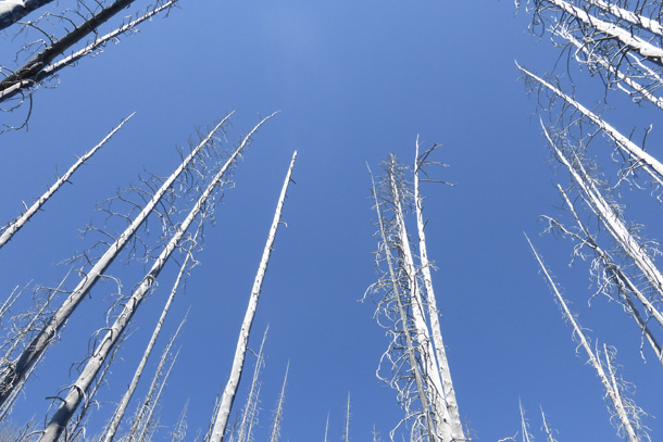 Old burned trees with a stunning blue sky above